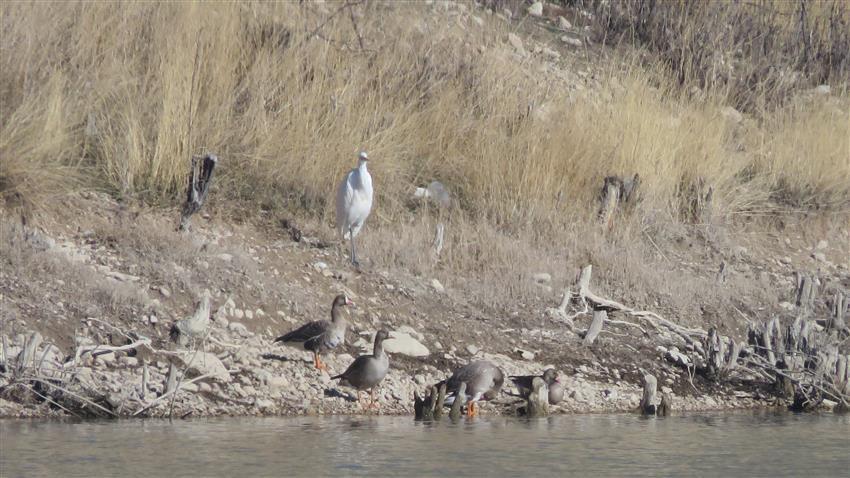 مشاهده دو جفت غاز پیشانی سفید بزرگ در زیستگاه های شرق استان تهران