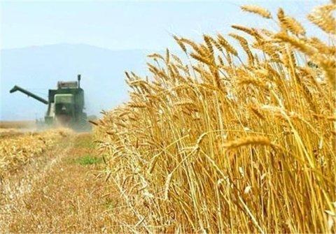 خرید 4 میلیون و 8 هزار تن گندم از کشاورزان